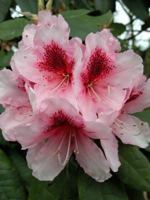 See Photo Attribution Below, Rhododendron