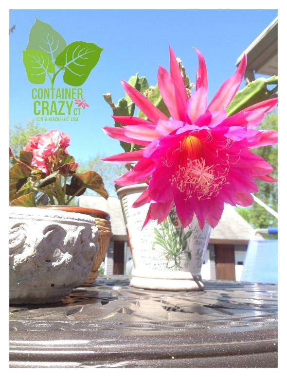 Orchid Cactus Bloom