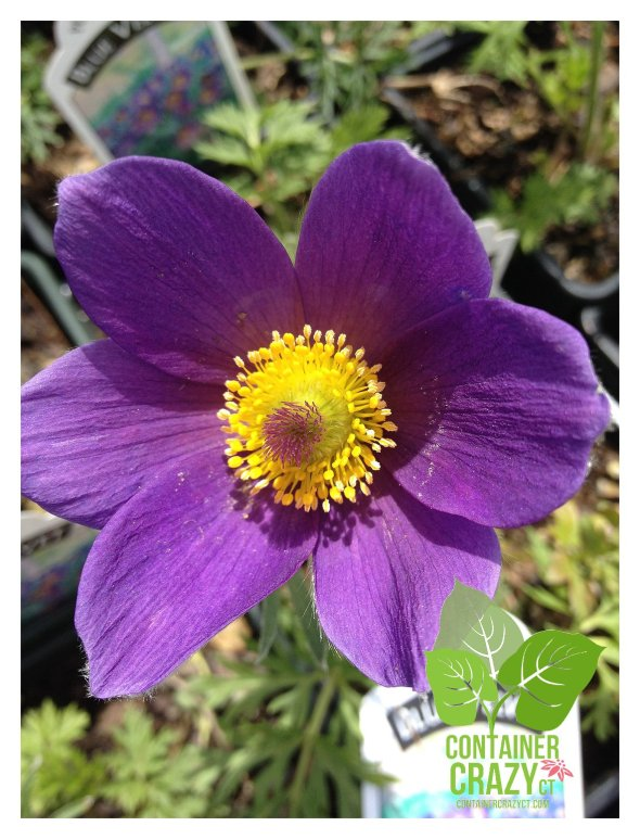 A perennial Pulsatilla vulgaris 'Blue Velvet' at the nursery (does not need to be covered)