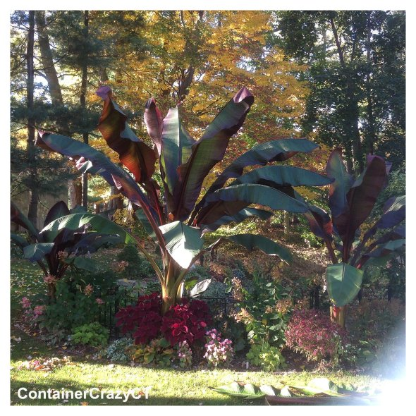 Serena's Red Banana in her CT Garden