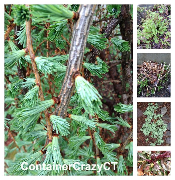 Weeping Larch (left photo)