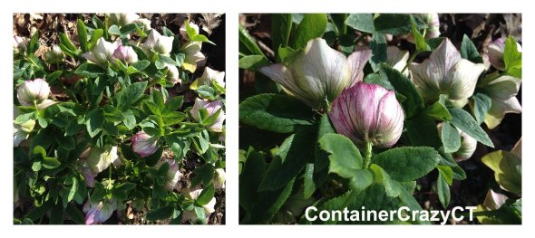 More of the Helleborus