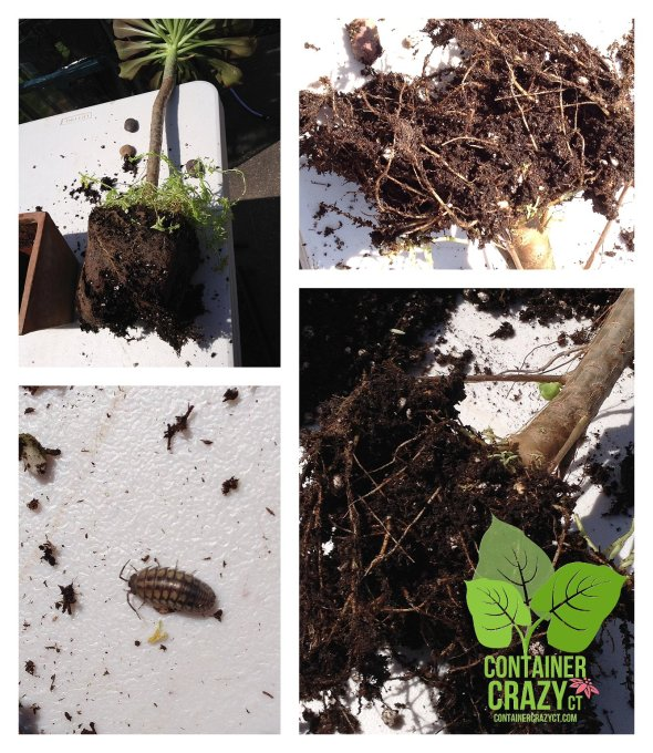 Removing, inspecting the soil, and seeing the sow bugs