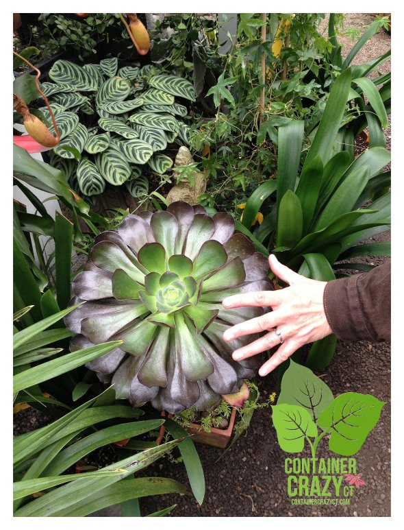 Hand shows size of  rosette