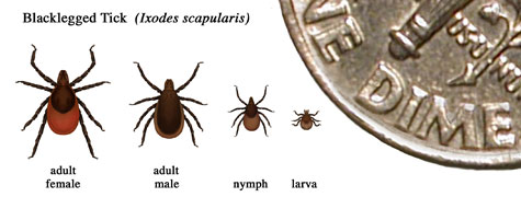 Tick sizes/Src: CT Department of Public Health
