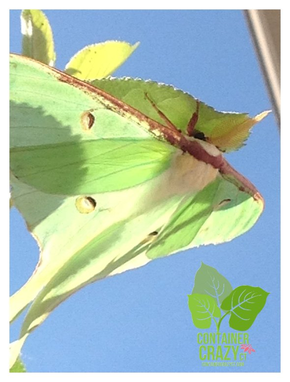 Luna Moth on Apple Tree hanging on the underside of a leaf