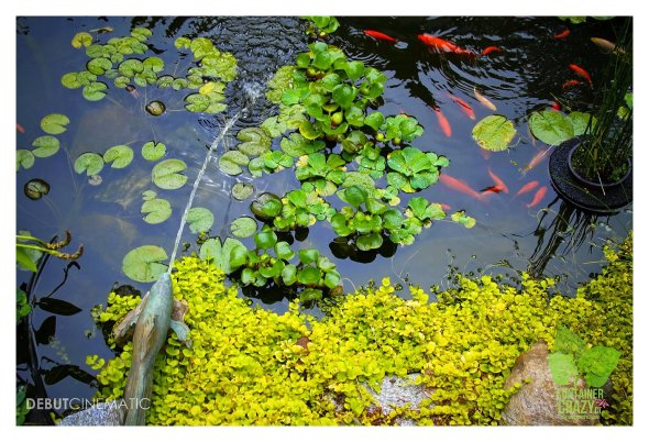 Water lettuce, Lilies, and Lysimachia near goldfish