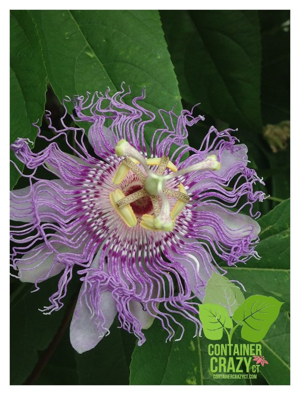 Passion Flower; Photo by C. Testa