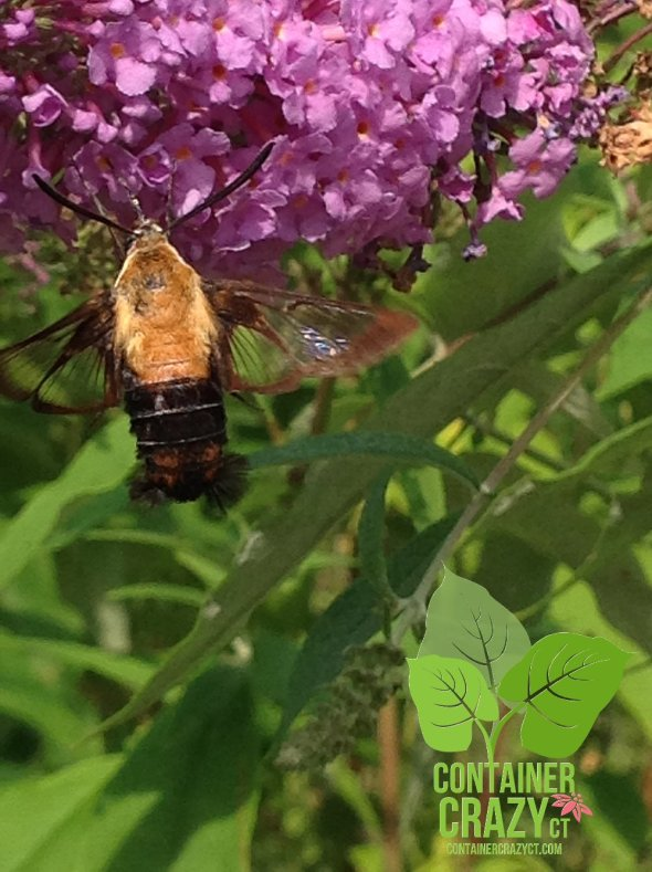 Sphinx Moth on Butterfly Bush Blooms