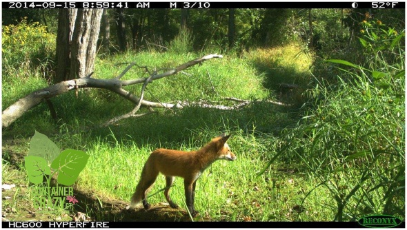 Fox, Broad Brook, CT