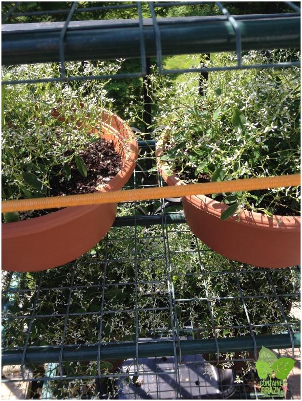 Euphorbia 'Diamond Frost' growing in starter pots