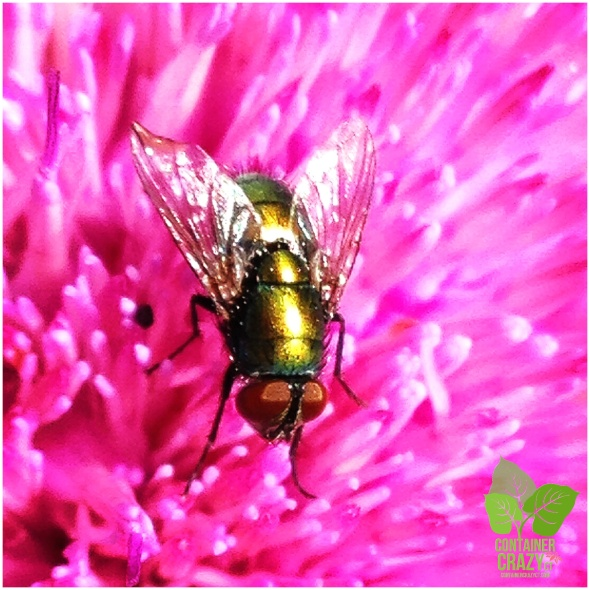 Fly on Milk Thistle Bloom