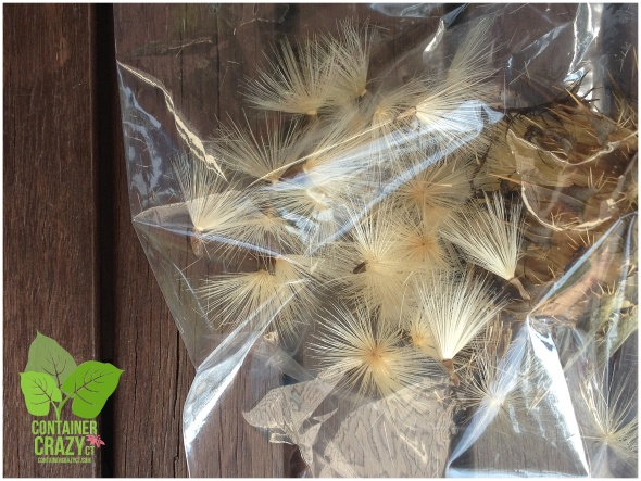 Collecting Seeds of Milk Thistle