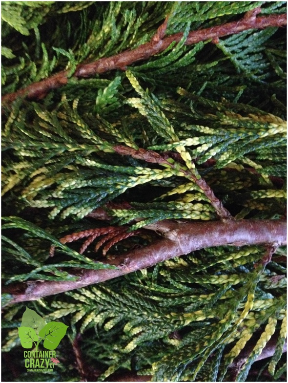 A New Variety at Tomorrow Class - Golden Arborvitae!