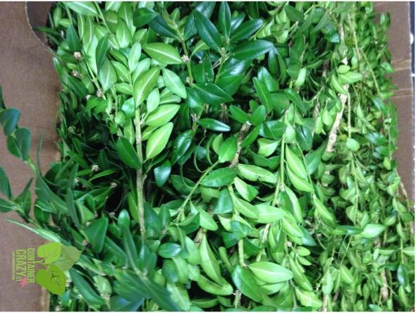 Dark Green Boxwood