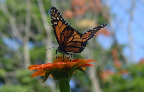 Monarch Butterfly on Mexican Sunflower.