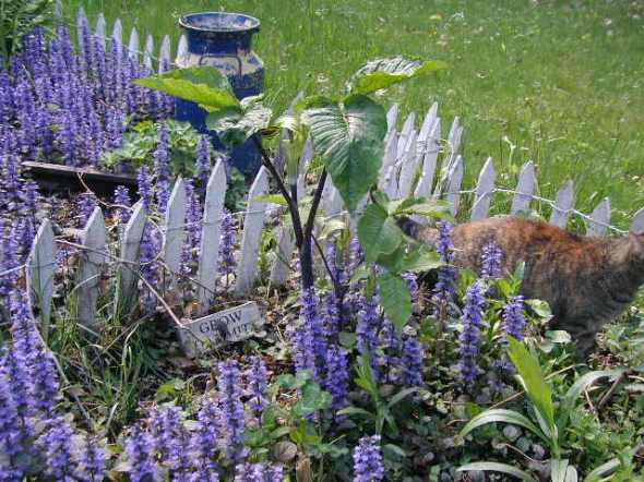 My dear departed cat, Ruby, hides near Ajuga reptans and a Jack and The Pulpit plant