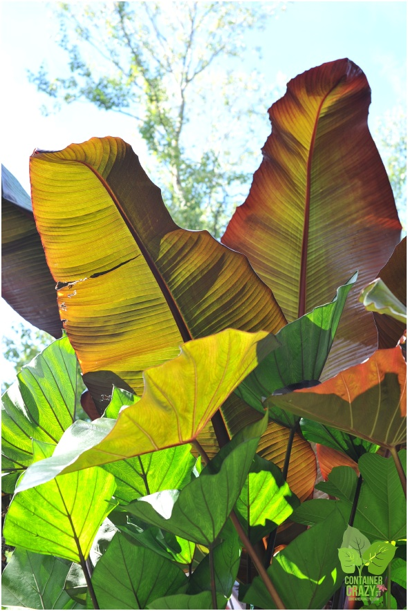 Red Banana Leaves with Various Elephant Ears