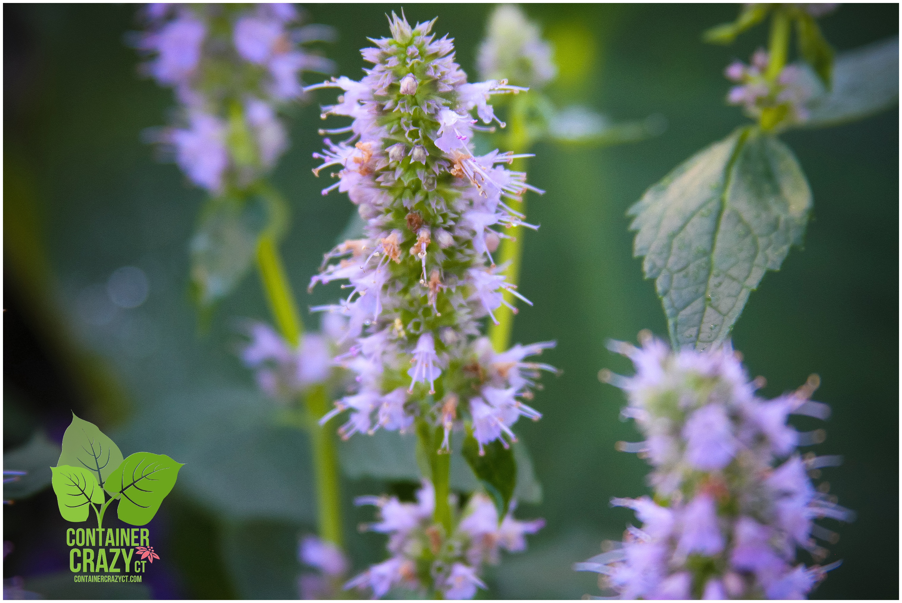 March 2015 container crazy ct perennial agastache blue fortune blooms all summer long izmirmasajfo