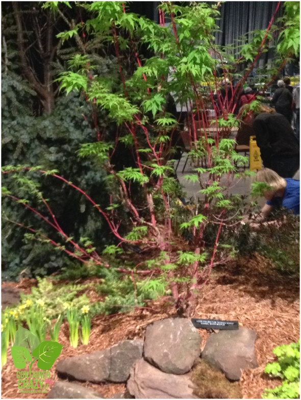 'Sango-Kaku' Japanese maple in a display