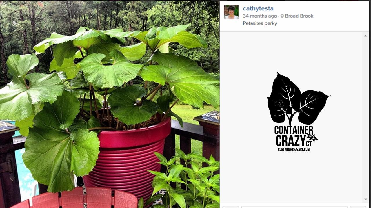 Petasites japonicus butterbur awakens in a pot every spring container crazy ct for Garden barn vernon ct