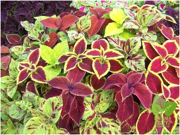 Mix of Coleus - Photo from National Garden Bureau