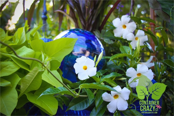 Sweet Potato Vine next to white Mandevilla vine and Blue Gazing Ball