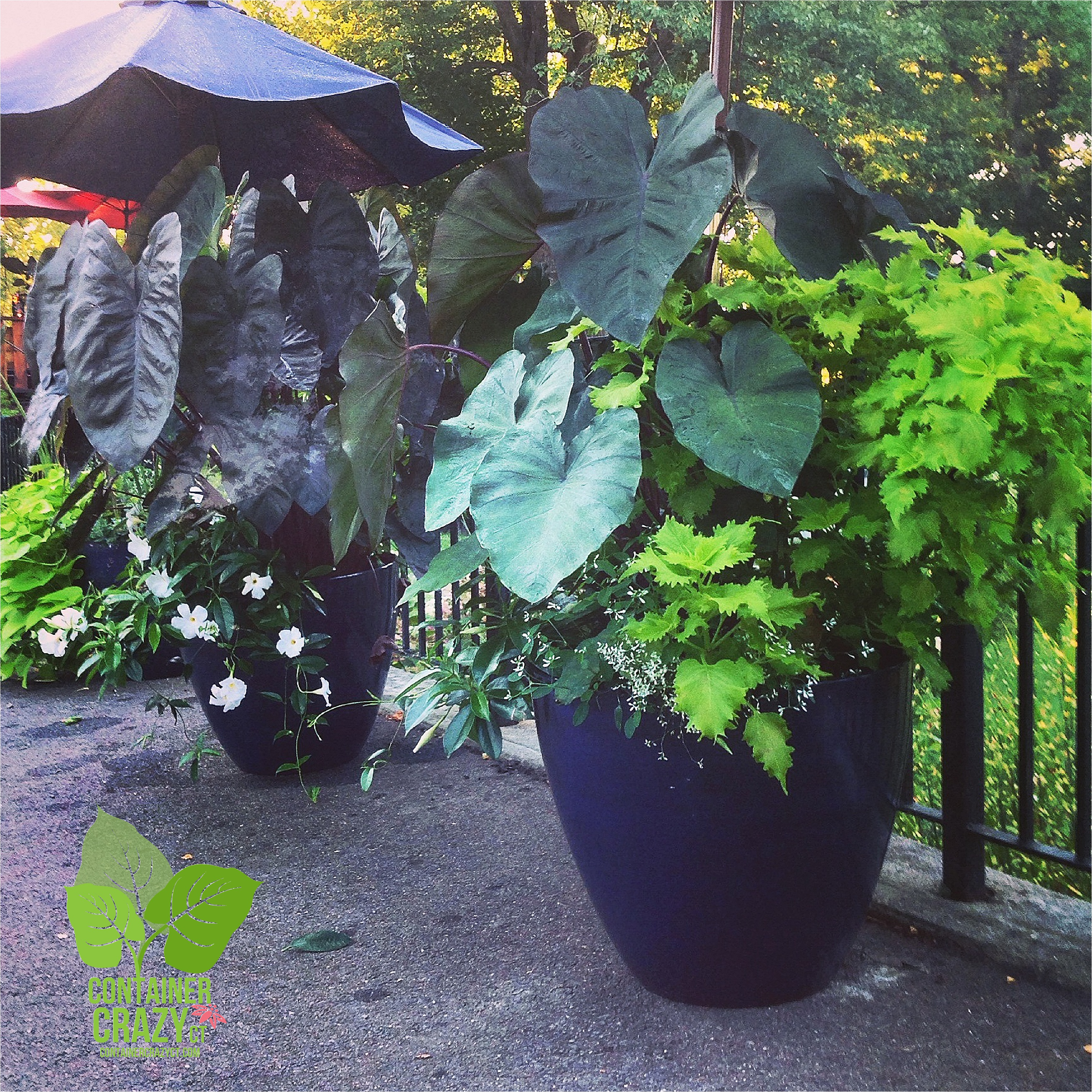 Elephant Ear Plants Container Crazy Ct