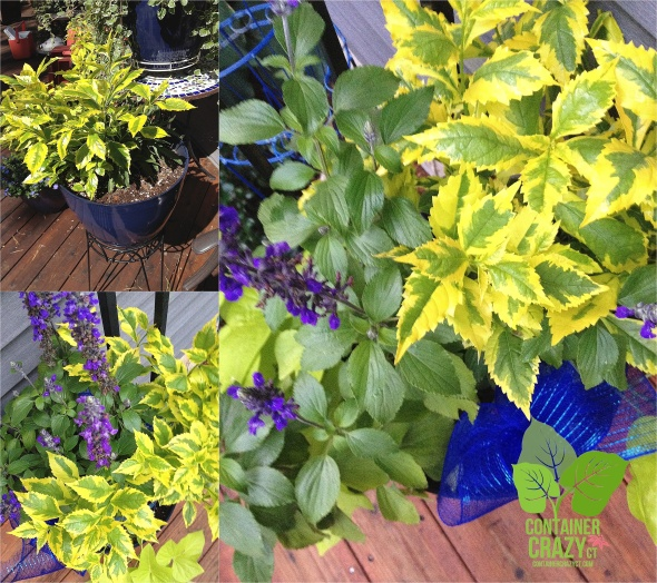 Duranta at Different Stages of Growth