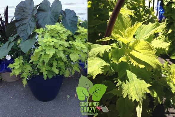 Containers with Wasabi Coleus by Cathy T