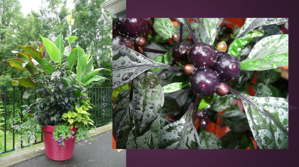 Black Pearl Pepper in a Pot - Great Contrasting Foliage Color