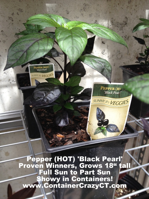 Black Pearl in Pot
