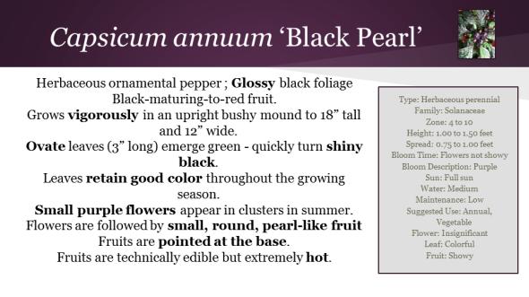 Black Pearl Pepper Descipt