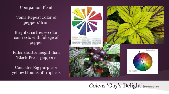 Veins of Coleus 'Gay's Delight' pick up the purple tones of 'Black Pearl' pepper.