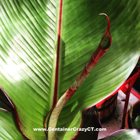 Ensete (Red Banana) is unrolling - getting ready for the Workshop tomorrow!