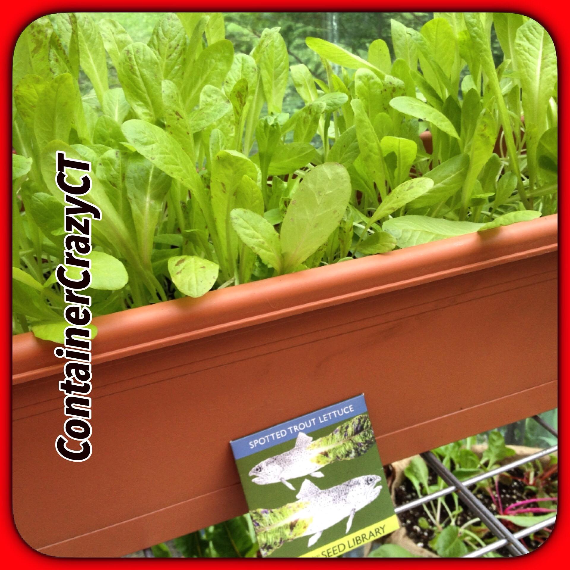 Lettuce in Windso Boxes