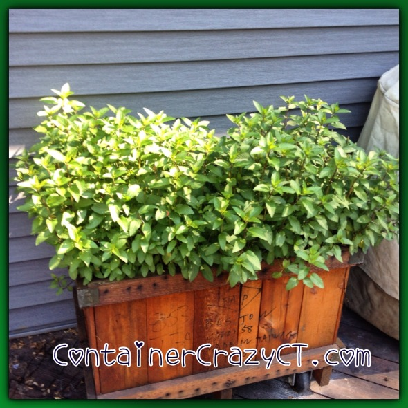 Mint on year two in this big container - very useful on my deck!