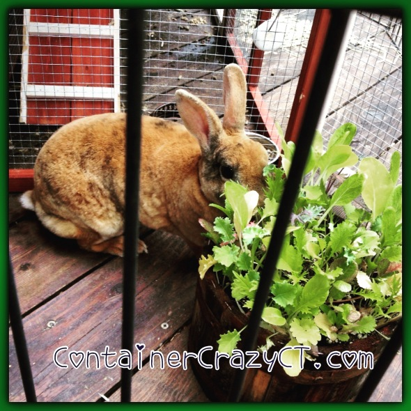 Funny Bunny eating a mix of greens grown from seed.