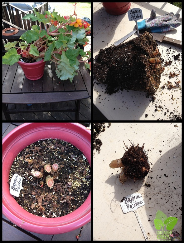 Showing Steps of Taking Down a Tuberous Begonia