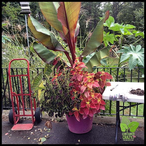 Red banana plant with two types of Coleus