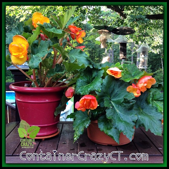 Begonia from Tubers (see yesterday's post!)
