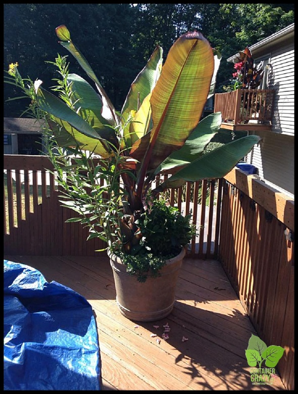 A Client's Container Garden with Red Banana plant as a thriller