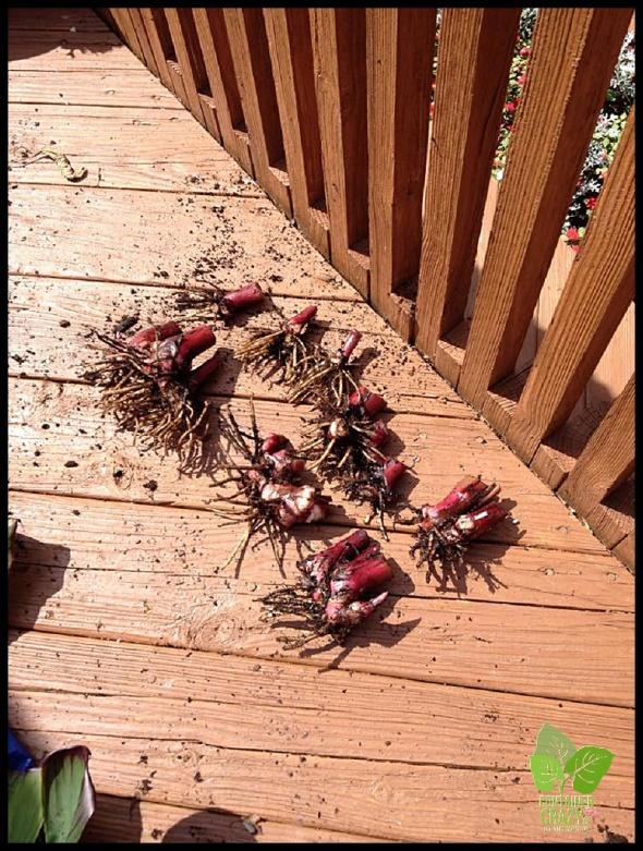 Rhizomes removed from Canna pot