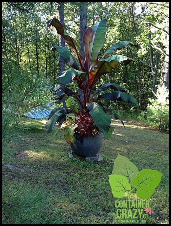 Red banana plant in my backyard