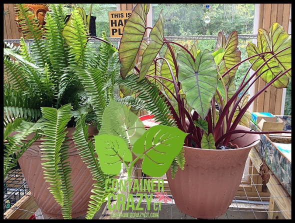 Fern and Colocasia (Elephant Ear) moved inside.