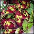 Coleus 'Dipt in Wine' is stunning still, taking cuttings of the tips with stem and leaves will save them.
