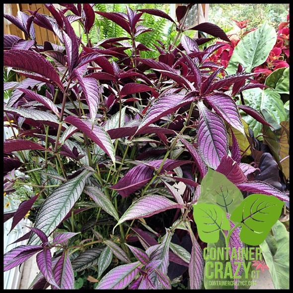 Strobilanthes (Persian Shield) is a purple plant - the color is fading due to cooler temps.
