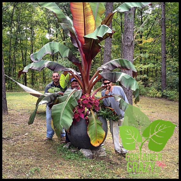 The big red banana plant (Ensete) to be part of demo day.