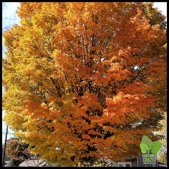 Sugar Maple spotted in Wethersfield, CT.