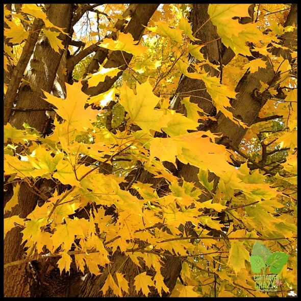 Close Up of Golden Leaves on a Maple Tree